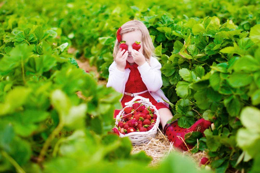 a young girl sat in a self pick farm holding strawberries to her eyes