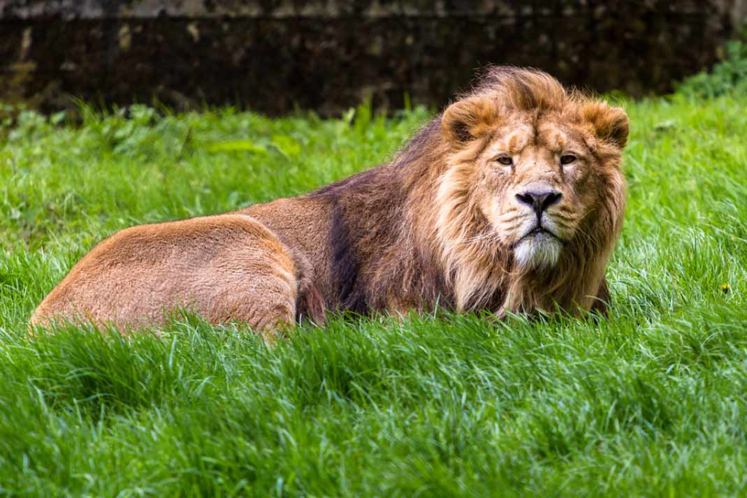an asiatic lion resting in the long grass