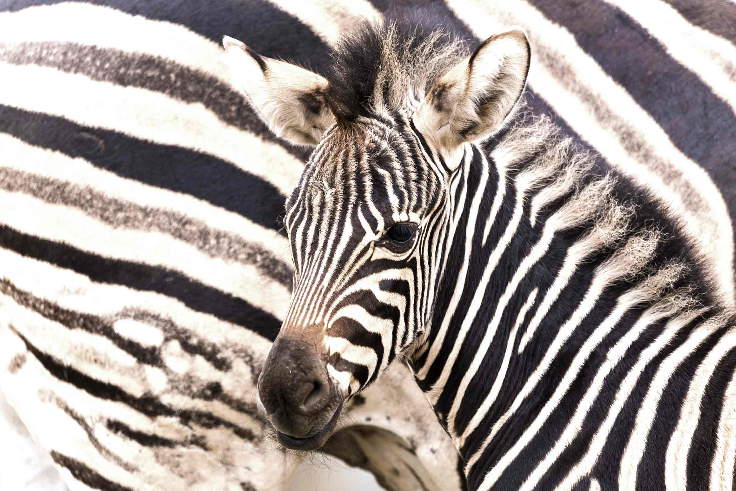 a black and white chapmans zebra at the cotswold wildlife park