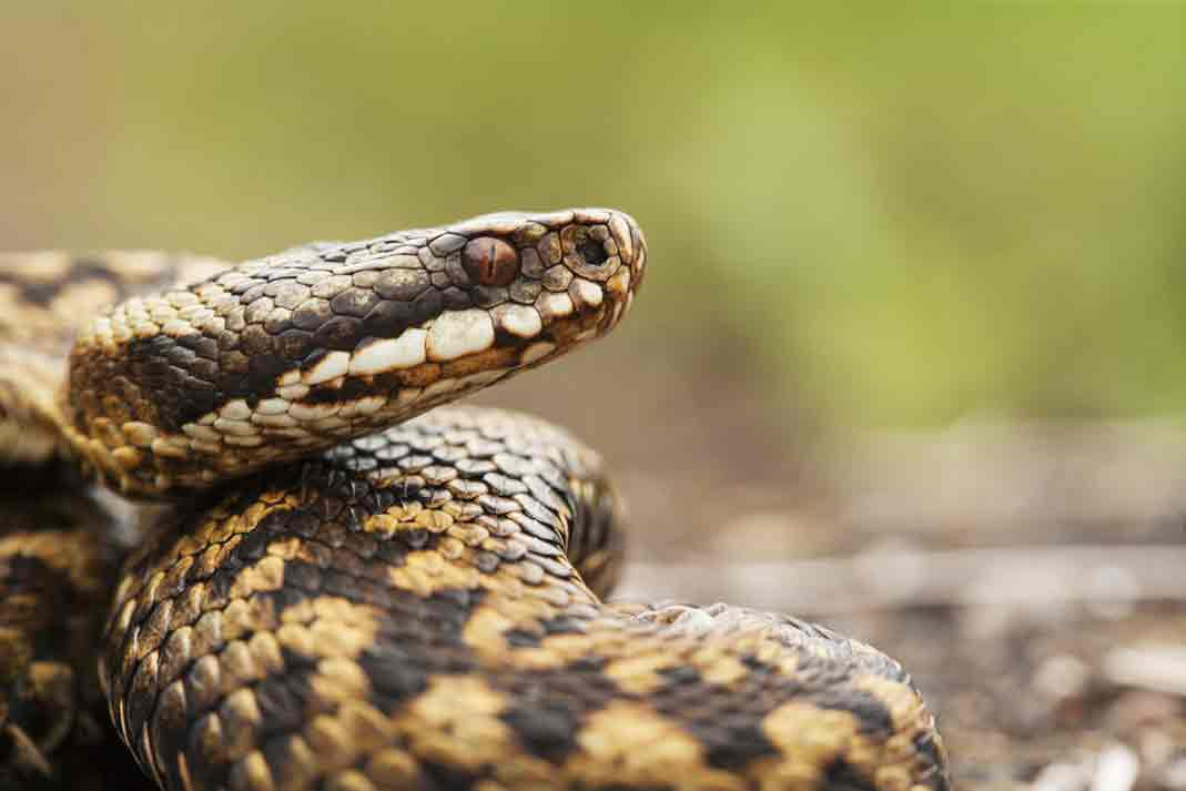 a coiled snake looking out for danger
