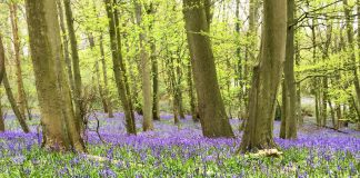 a carpet of bluebells at baby woods in the springtime