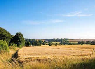 golden fields of wheat in the British summer