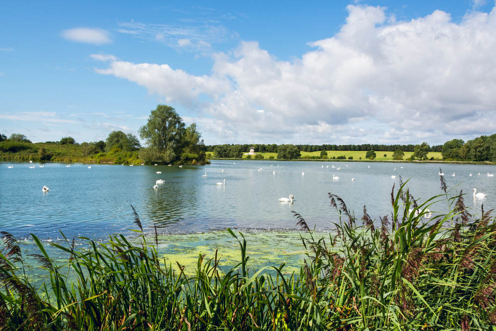 swans on a picturesque milton keynes lake in summer